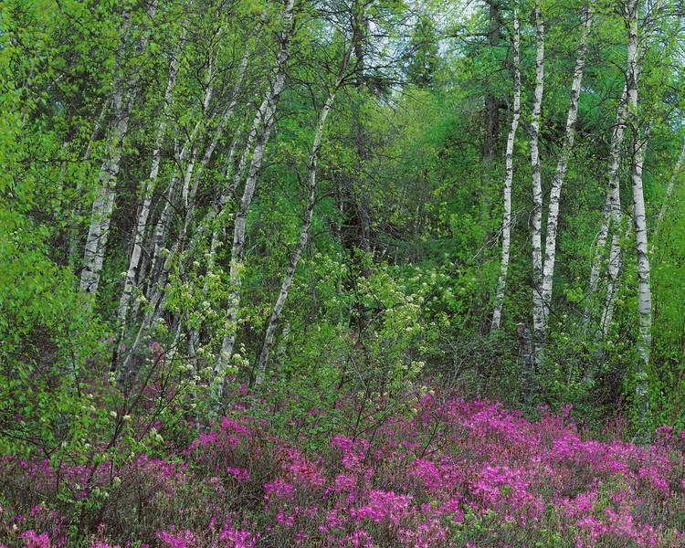Flowers & Birch Trees