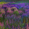 Loosestrife Meadow