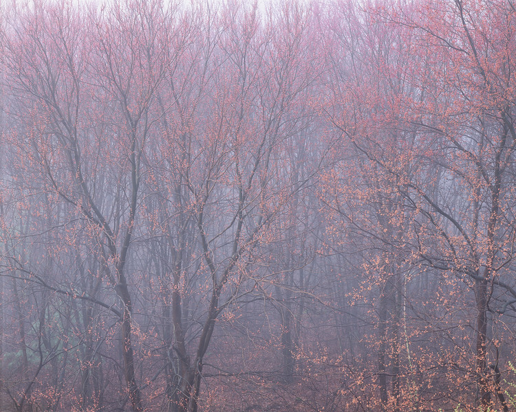 Budding Maple Trees in Morning Fog I