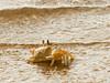 Crab- Chilaw Lagoon