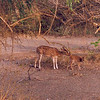 Chital ewe with a new born