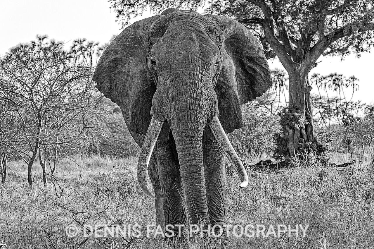 African Elephant (Loxodonta africana), in Meru National Park, Kenya.
