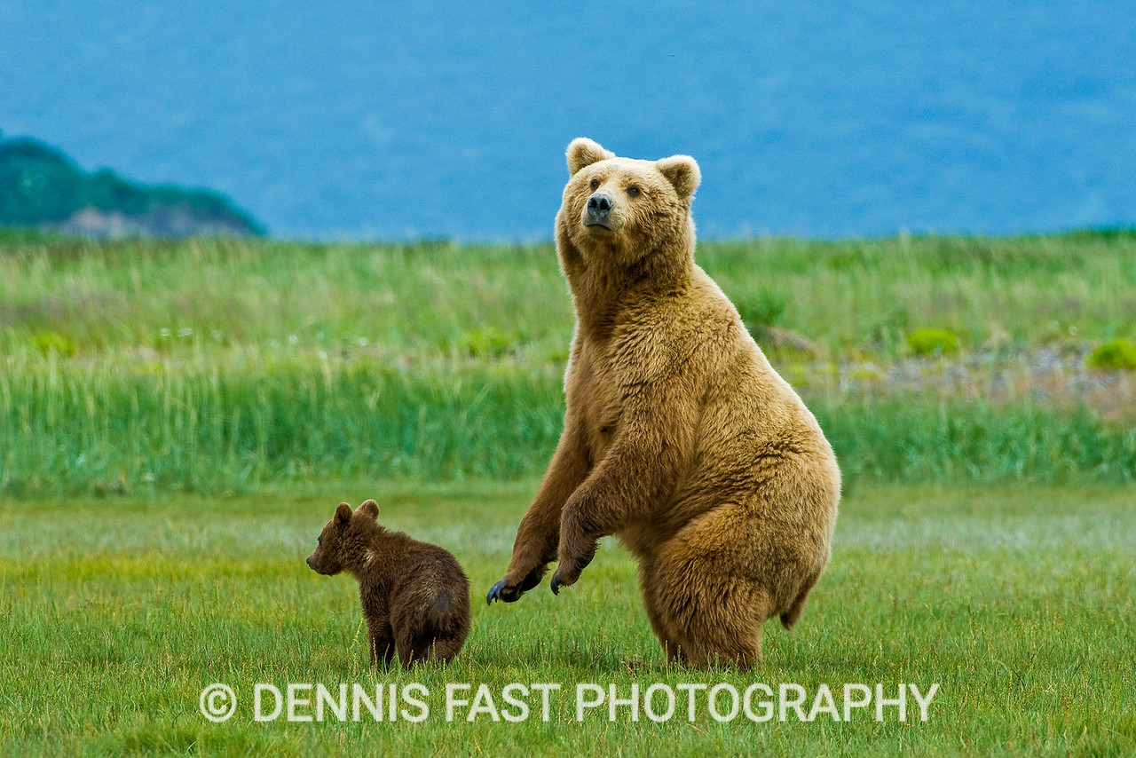 Watchful Alaskan Brown Bear (Ursus Arctos) mother and young cub in grassy meadow, Katmai National Park and Preserve, Kodiak, Alaska, USA