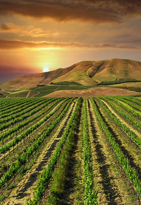 Vineyards 112