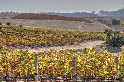 Vineyards 105
