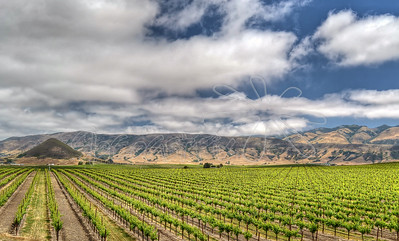 Vineyards_37