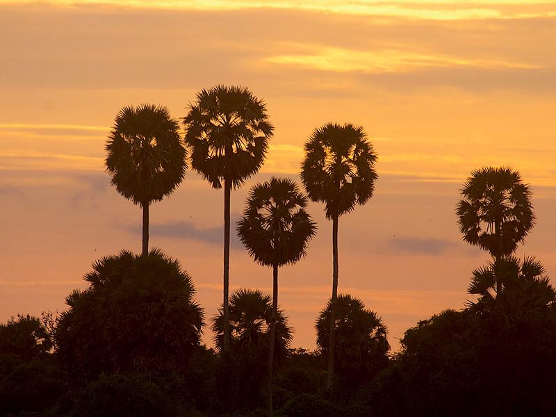 Palmyrahs at sunrise