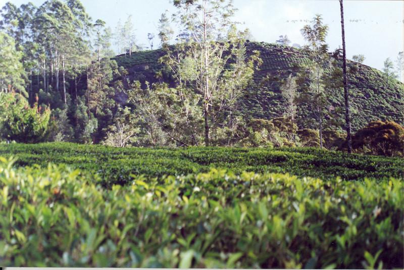 Tea Plantation (Horton Plains)