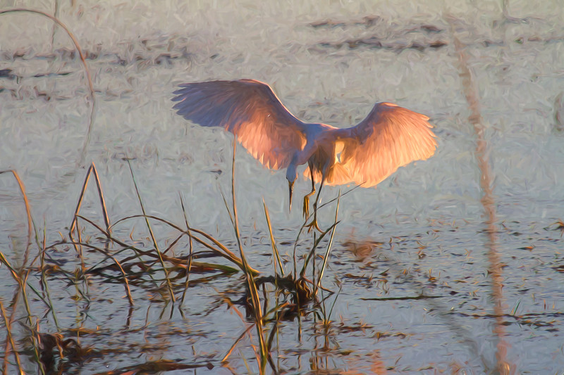 Snowy Egret, Sunset