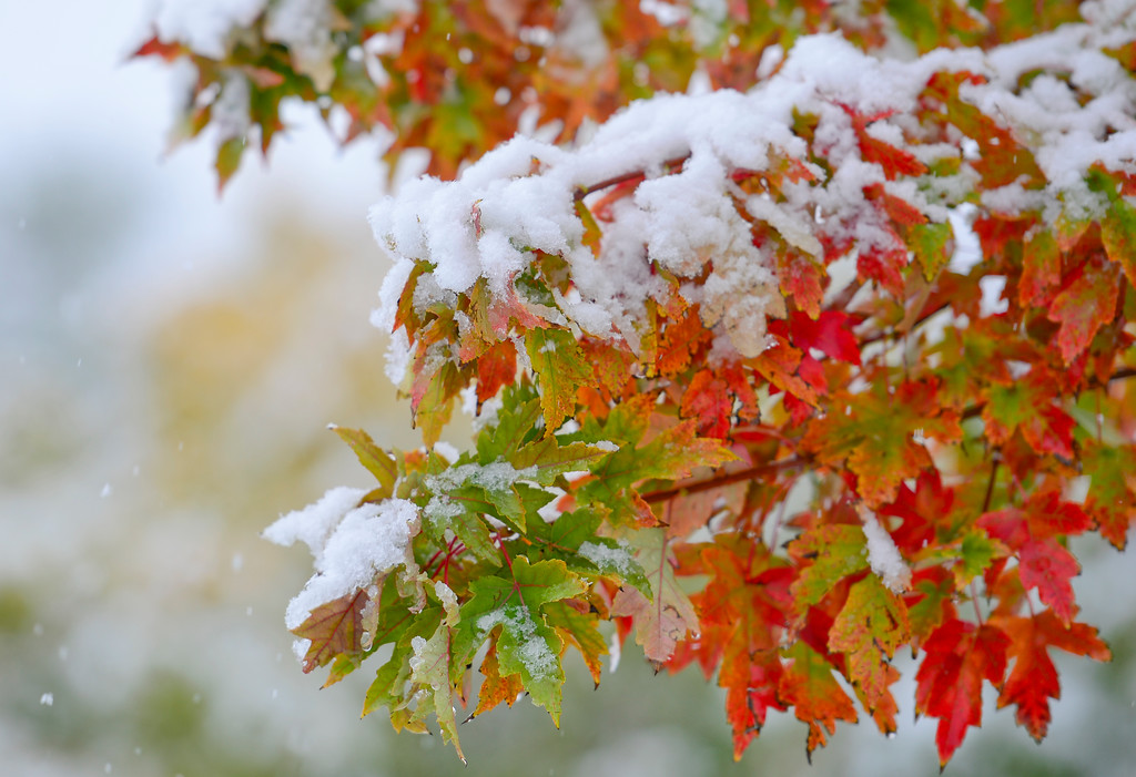 . Snow covers the colorful fall foliage of a tree in Kensington Park in Longmont Colorado on Oct. 9, 2017.  (Photo by Matthew Jonas/Times-Call)