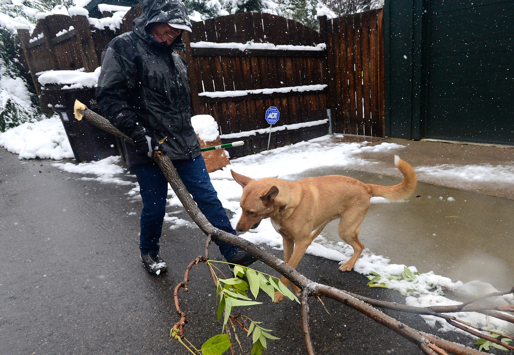 . Sacha tries to play with a broken tree limb that Don Morrissey clears from his Boulder yard on a snowy Monday. For more photos go to dailycamera.com Paul Aiken Staff Photographer / Oct 9 2017