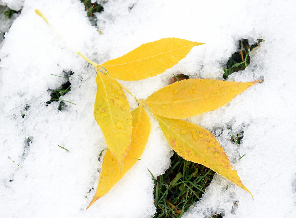 . Yellow ash tree leaves lay on top of the snow in Dawson Park Monday morning. Lewis Geyer/Staff Photographer Oct. 09, 62017