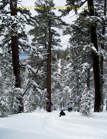 Another boundary shot with deep new snow that stays longer in the woods. Note that the skier and Boarder are dwarfed by the majestic trees.