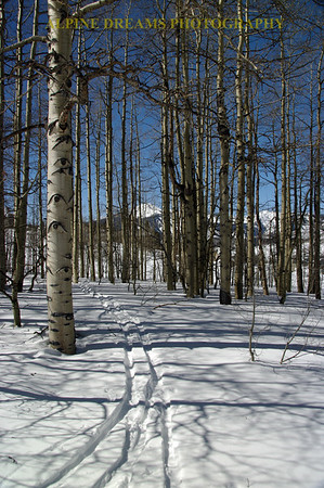 THRU THE ASPENS IN PORTRAIT