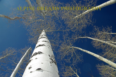 ASPEN BEAUTY  COBALT BLUE SKIES