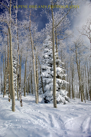 ASPENS EVERGREENS AND SNOW