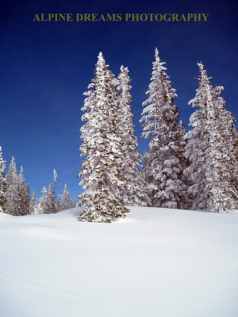 Evergreens on a bluebird day after the storm.