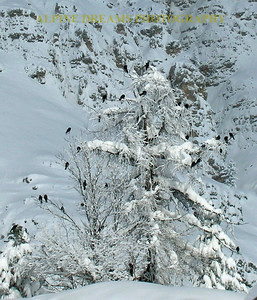 I counted over 25 big, loud, blackbirds hanging out in this tree in the dead of winter. They stood out like black and white against the steep snow covered mountainside.