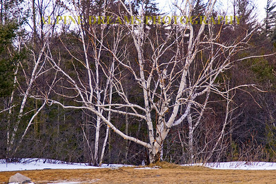 This may be a cold birch but against the dead grass, the dark underbrush and traces of snow it needed to be remembered.