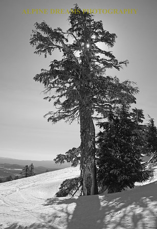 OLD GROWTH BEAUTY IN BLACK & WHITE