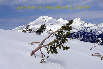 Simply called  PINES & VOLCANO BEAUTY IN SNOW   ---   Look at this poor poor evergreen  the wind and the harsh winters will have its way with this tyoung tree.  can you tell which way the wind usually blows?