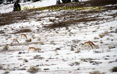 PRONGHORN PANO
