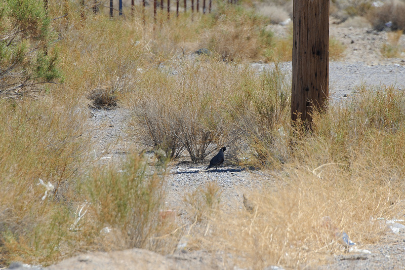 A covey of quail with babies.  They were quicker than my shutter finger...