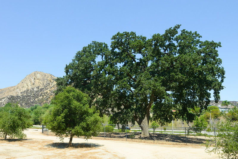 """Here is the complete 400 year old unit. This tree was moved almost a mile down the road from it's birth place. It was tagged to be turned into firewood to make way for a new road. Tree hugger saved it! It is in it's own little park now in Pico Canyon. Here is a little background There are 2 different links here. <a href=""""http://www.la.indymedia.org/news/2002/11/21816.php"""">http://www.la.indymedia.org/news/2002/11/21816.php</a><br /> <a href=""""http://tgaw.wordpress.com/2009/01/20/5-year-anniversary-of-the-old-glory-transplant/"""">http://tgaw.wordpress.com/2009/01/20/5-year-anniversary-of-the-old-glory-transplant/</a>"""