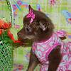 PUPPY # ADOPT CHI MIX 2333  2333