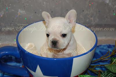 sold teacup french bulldog 2600 breeder texasteacups