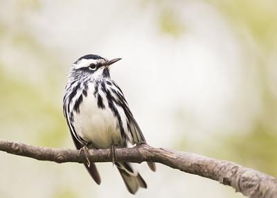 Black&white warbler