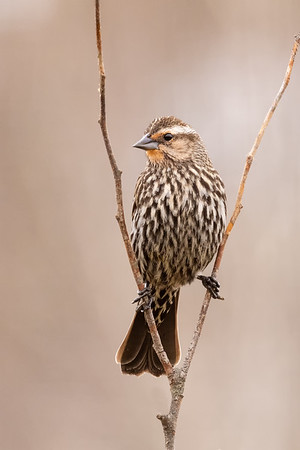 Female red winged blackbird