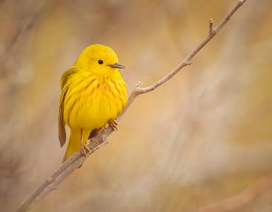 Yeloow warbler