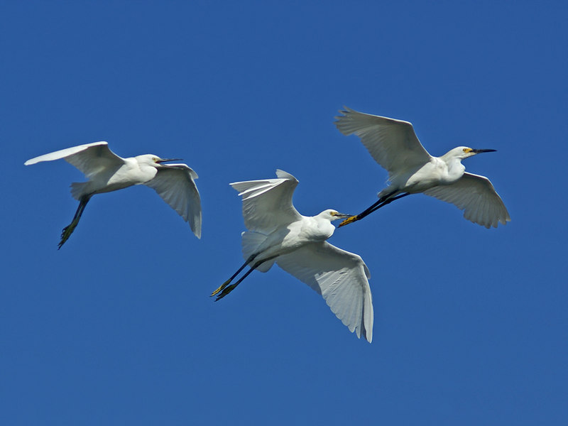 50% crop with some post processing (PP). Focus locked on the center snowy egret.