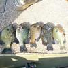 Pan fishing on Guntersville Lake