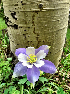 Columbine against Aspen