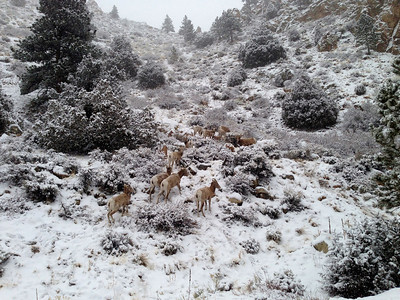 Mountain Sheep near the Forest Service Cabins