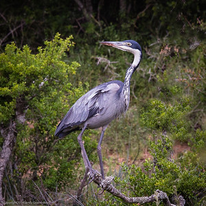 blue headed Heron
