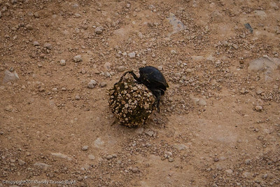 dung beetle pushing a piece of dung