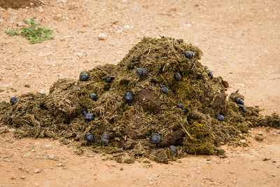 elephant dung pile with beetles