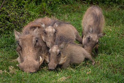 warthog family: