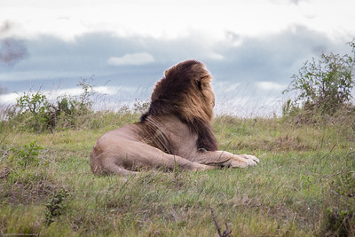 Male Lion Sleeping