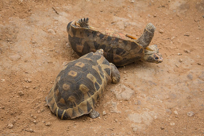 one tortoise  is shoved over!