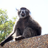 baboon on roof