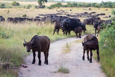 A herd of nearly 1,000 buffalos