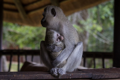 Vervet monkey mom and baby at Idube Lodge