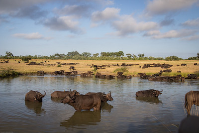 Water Buffalos everywhere