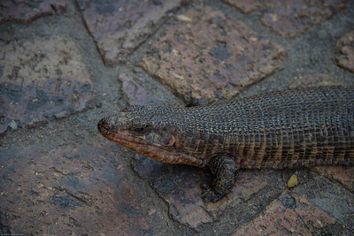 Lizard at Idube Lodge