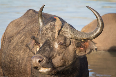 water buffalo with 2 oxpecker birds; can you find them?