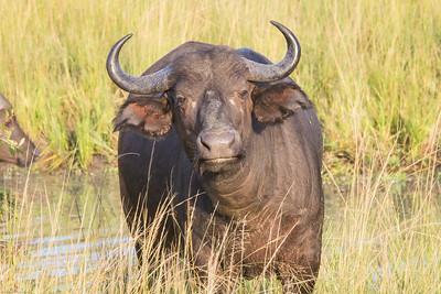 Grumpy water buffalo